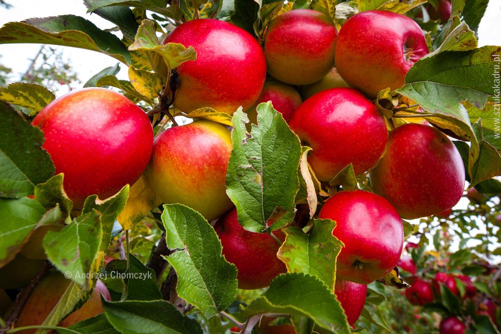 jablka-289