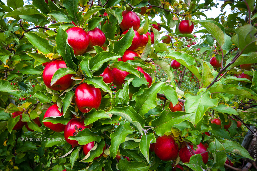jablka-294