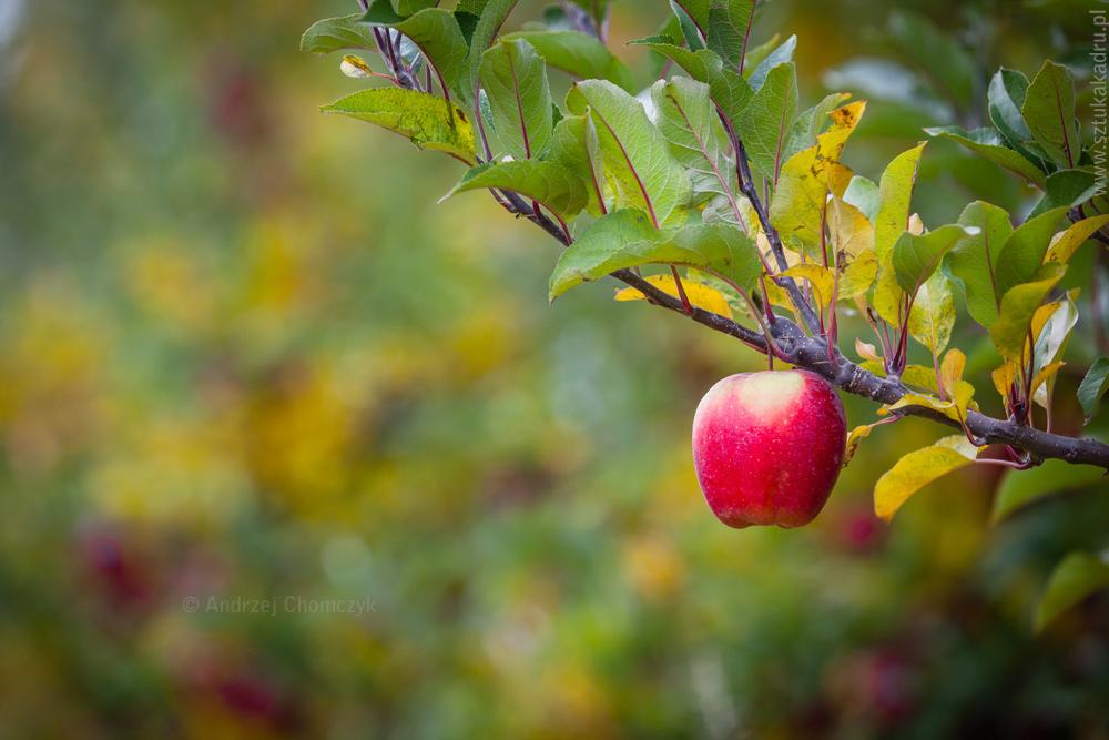 jablka-313
