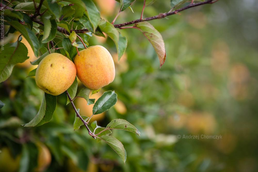 jablka-318