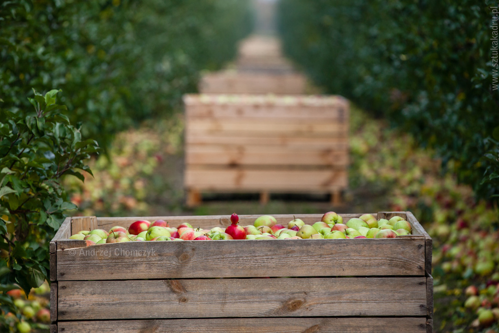 jablka-329
