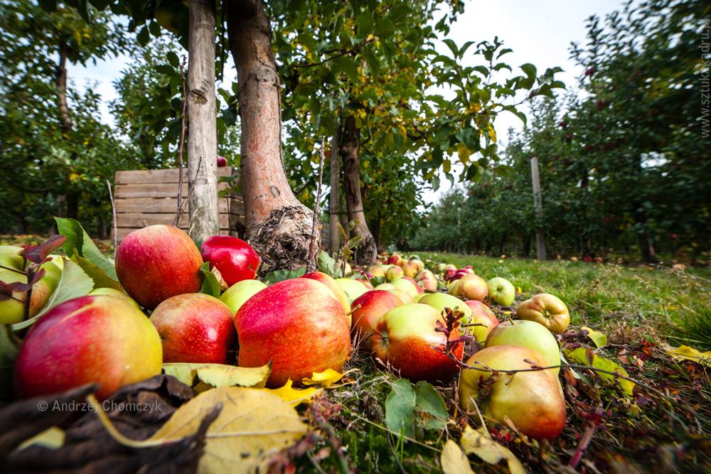 jablka-338